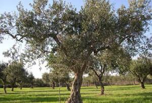 olive-oil-56